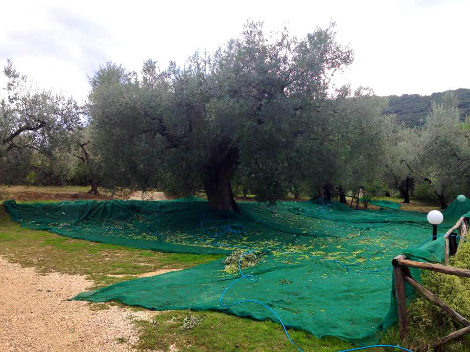 Olive harvest in Nerola