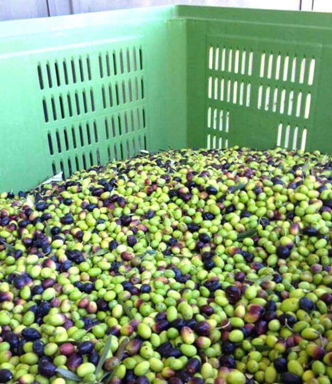 Sabina Olives harvest