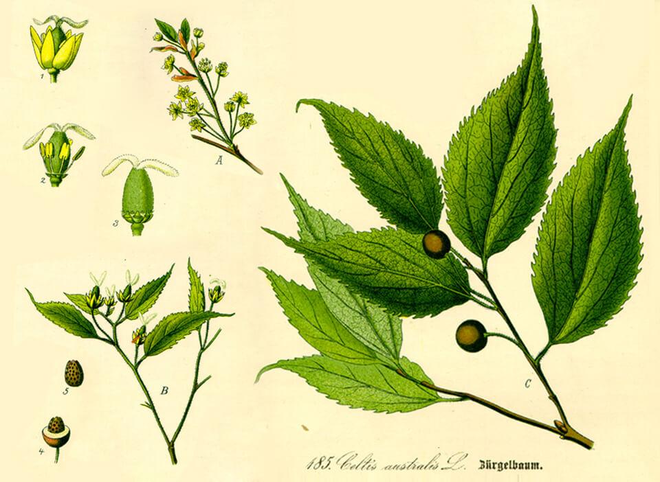 Bagolaro leaf
